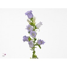 Campanula medium champion white 70cm