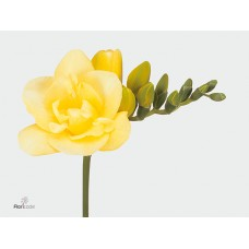 Freesia do grandeur 50 cm