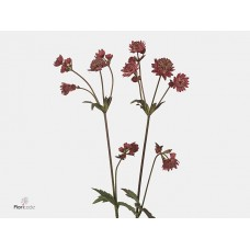 Astrantia abbey road 55 cm