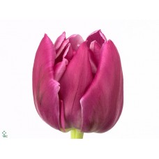 Tulip db double princess 35 cm