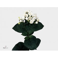 Bouvardia do diamond white 50 cm