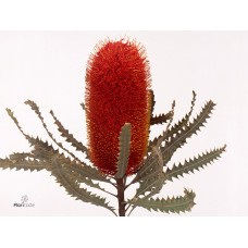 Banksia prionote orange 50 cm