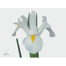 Iris white magic 60cm