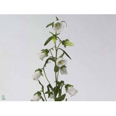 Campanula medium champion white 70 cm