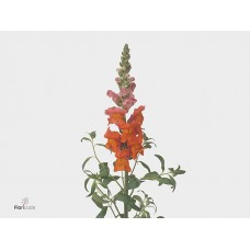 Antirrhinum animation orange 80 cm