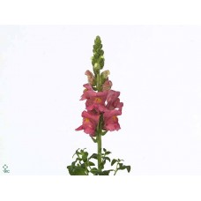 Antirrhinum animation 75 cm