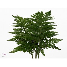 Leather fern ex 12 vac pac 55cm x bunches