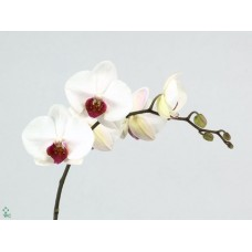 Phalaenopsis red lips x heads