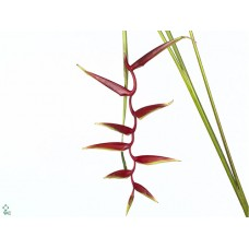 Heliconia sexy scarlet mg 100 cm