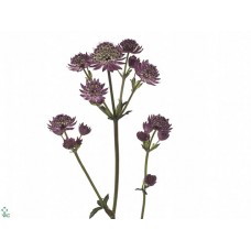 Astrantia star of beauty 50 cm