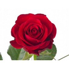 Rosa bg red ribbon 50 cm