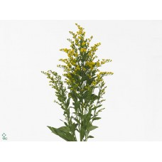Solidago golden glorie 80 cm