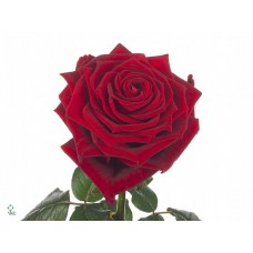 Rosa bg red naomi 50cm -Grower Mar