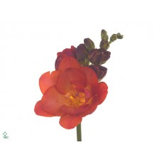 Freesia do mandarine 50 cm