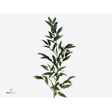 Ruscus italy 90cm x bunches