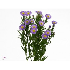 Aster purple monarch 80 cm