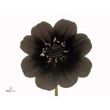 Cosmos atrosang black beauty 50cm