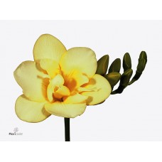 Freesia do grace 52 cm