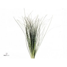 Beargrass hand tied 75 cm
