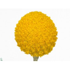 Craspedia yellow 70 cm