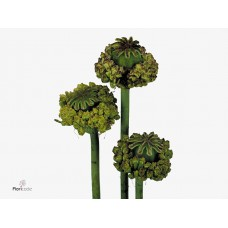Papaver somniferum hen and chicken 65cm