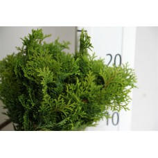 Conifer bag nana 20 cm