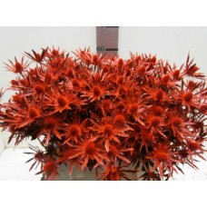 Eryng orion red  glitter 60 cm