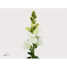 Antirrhinum animation 80cm