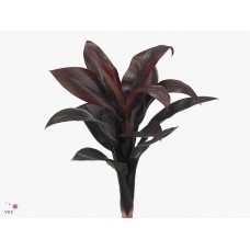 Cordyline purple comp 40cm