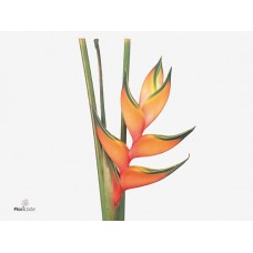 Heliconia peachy pink 90cm