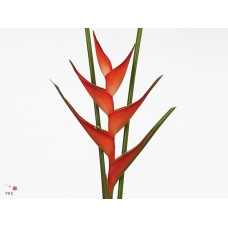 Heliconia stricta tropical x12 70cm