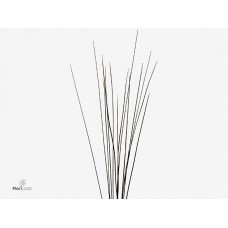 Speargrass extra 120 120cm